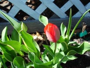 Tulips | BettyCupcakes.com